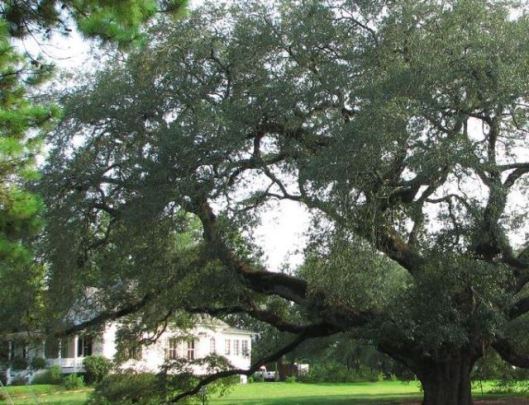 house-and-oak-tree