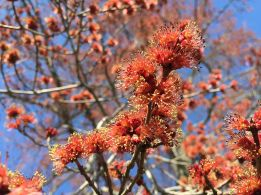 2015-04-12_16_31_55_male_red_maple_flowers_on_bayberry_road_in_ewing_new_jersey