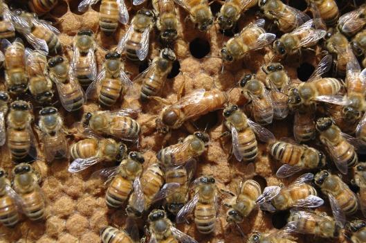 queen-bee-682941_960_720