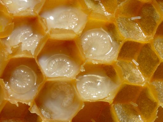 Bienenwabe_mit_Eiern_und_Brut_5_larva