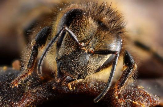 Honey_bee_portrait_(5454333517)