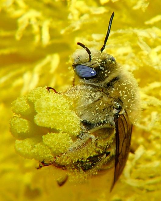 Diadasia_Bee_Straddles_Cactus_Flower_Carpels_close-up