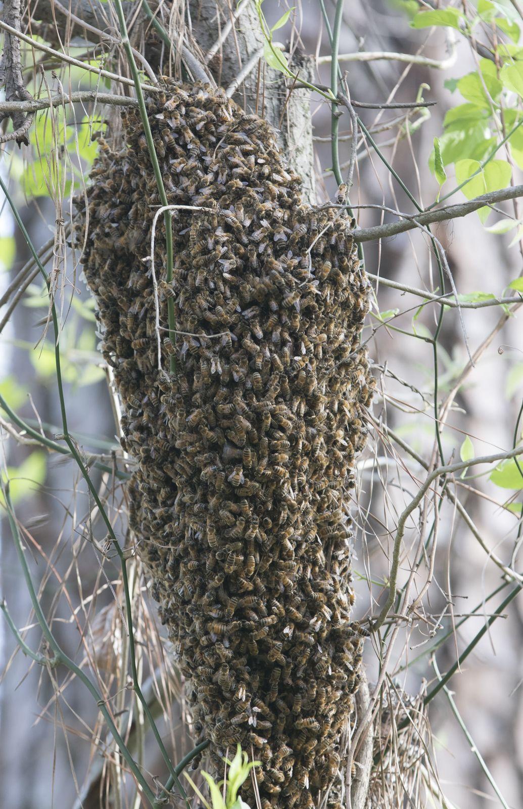 honeybee-swarm