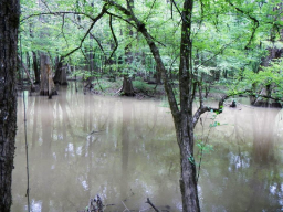 Figure 4: Cypress Swamp in CONG (Credit: D. Schuetrum)