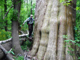 Figure 3: Old-growth cypress tree at Congaree National Park (Credit: D. Schuetrum)