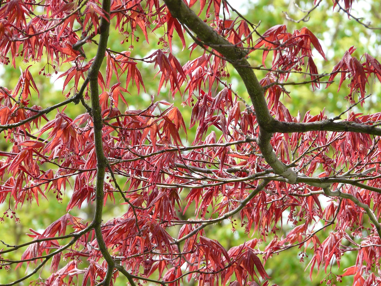 red-maple-6836_1280